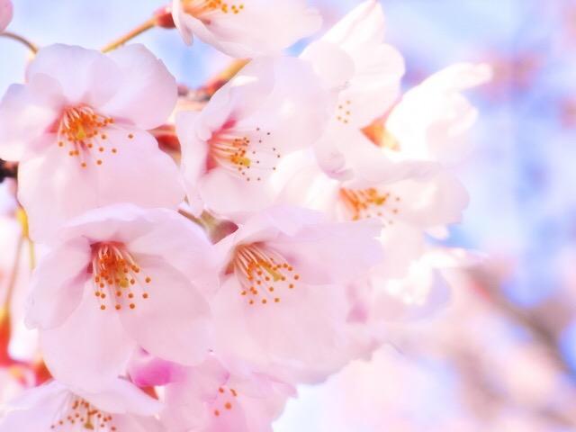 桜の効能は美容効果を含めて12個も!桜を10倍楽しむ方法♪